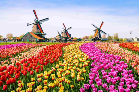 Landscape-with-tulips-traditional-dutch-windmills-and-houses-near-the-canal-in-Zaanse-Schans-min