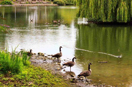 Ducks-walking-on-the-pond-shore-in-the-Staendehaus-Park-min